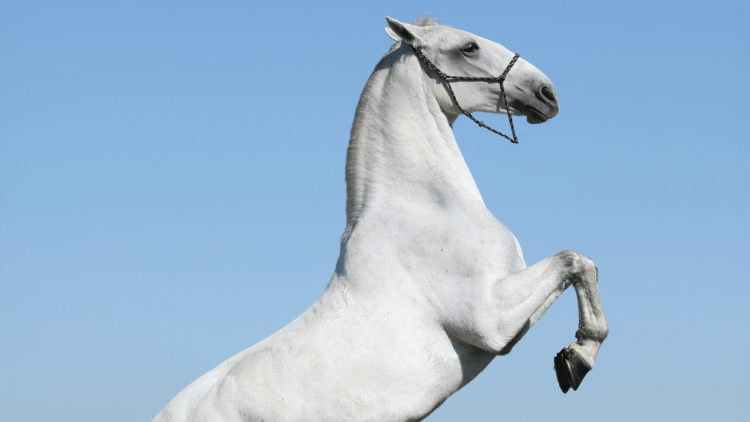 White horse with rope halter rearing against blue sky