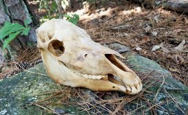 horse skull, proof humane hackamores are a myth