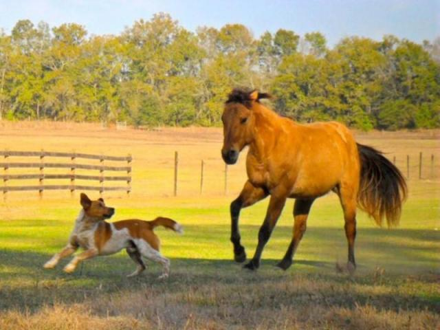 Horse with healed wound galloping next to dog