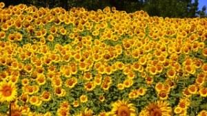 champs de tournesols