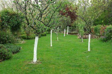 arbres-chaulage