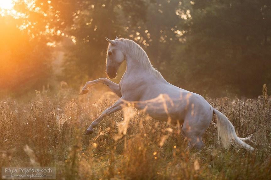 Siwy lipicaner stający dęba w wschodzie słońca