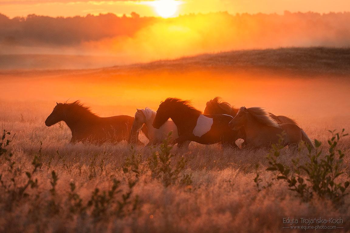 Stado kuców szetlandzkich galopujące po łące o wschodzie słońca