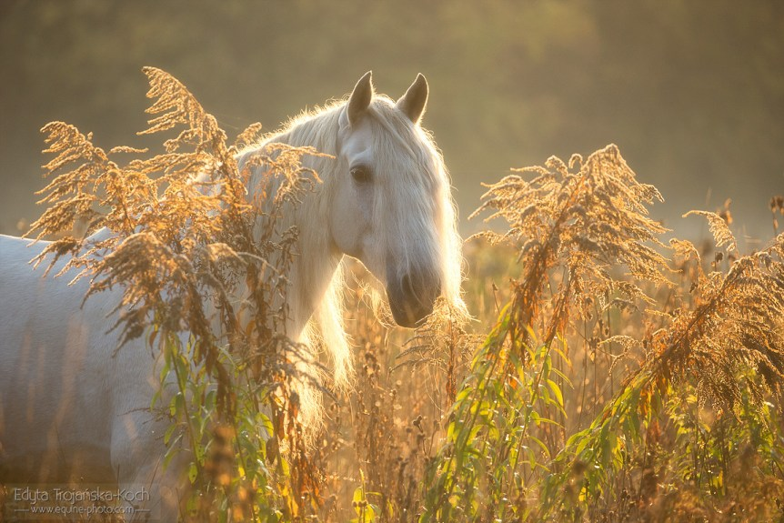 Andalusian grey gelding in autumn at sunrise among grasses