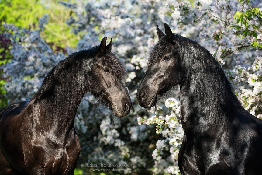 Portrait of Friesian mares in orchad in spring