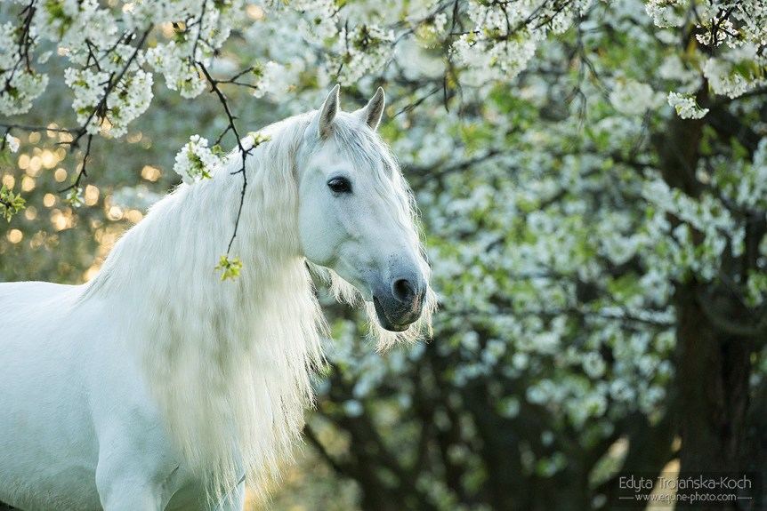 Portret siwego konia andaluzyjskiego z długą grzywą wiosną o wschodzie słońca w sadzie.