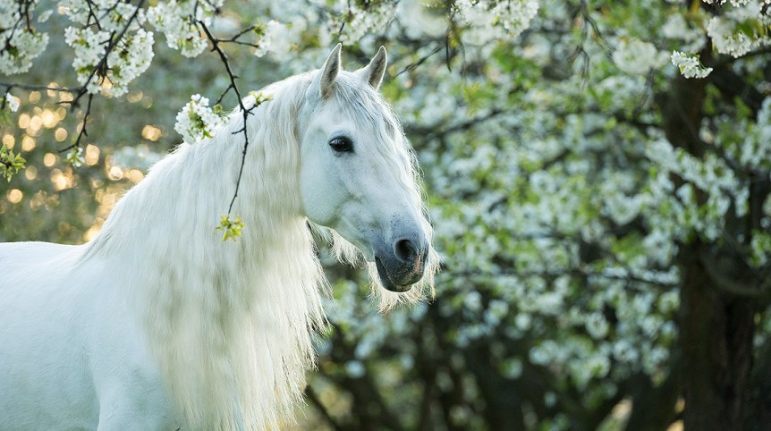 Portrait of white Andalusian on the background of flowering trees in the orchard