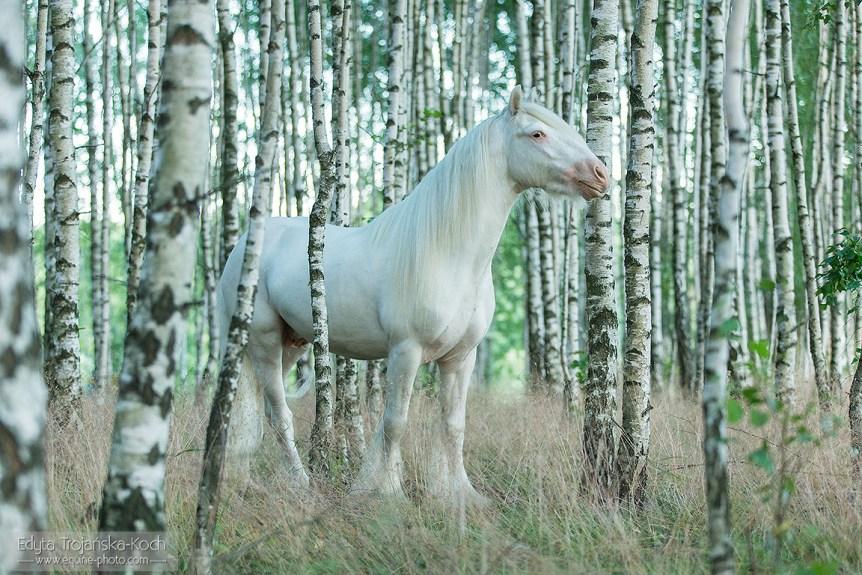 Biały ogier tinker wśród brzóz