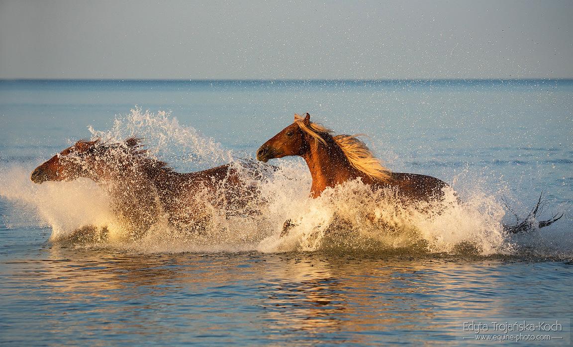 Kasztanowate konie galopujące w morzu o zachodzie słońca
