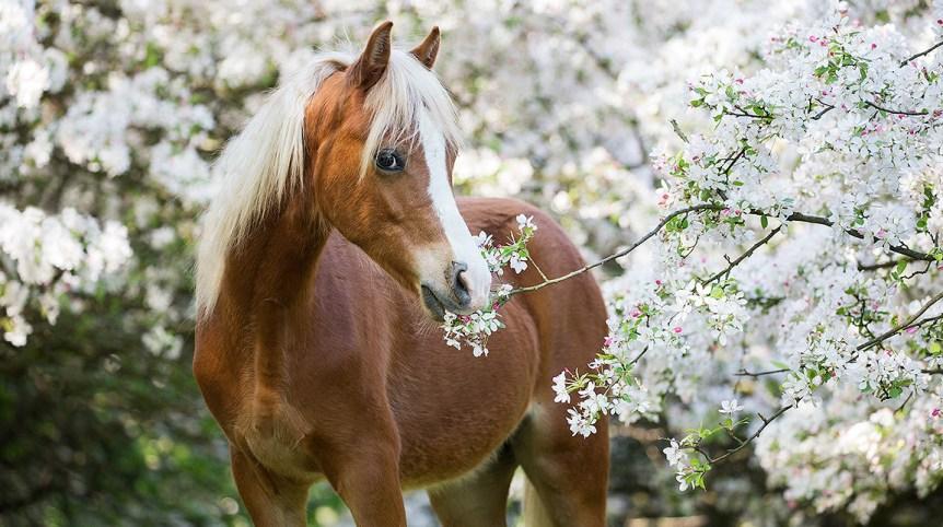 Portret kuca walijskiego w kwitnącym sadzie