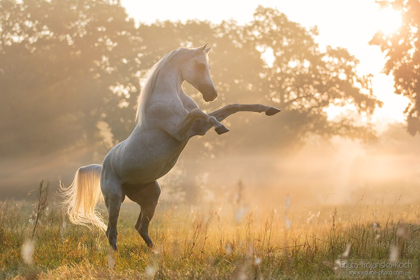 Grey Arabian stallion rearing in the field at sunrise in the mist