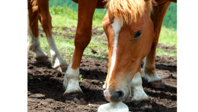 "The Importance Of Salt In A Horse's Diet & What Is ""Tying Up?"""