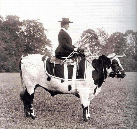 Woman riding side saddle on a cow