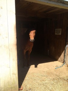 Peering out from the barn.