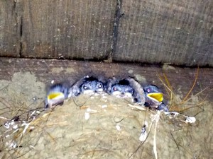 Nest of barn swallows