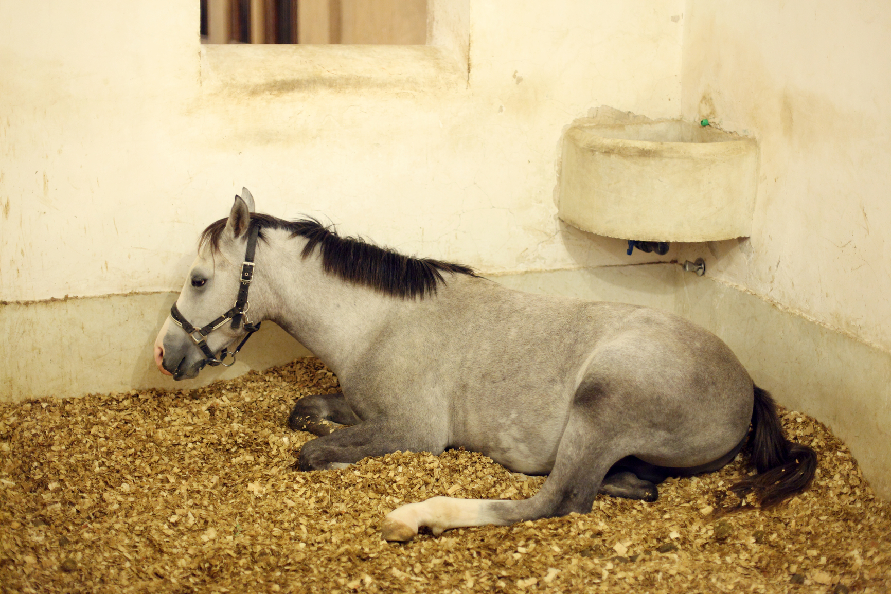 hight resolution of arabian horse in the stable when your horse s stomach