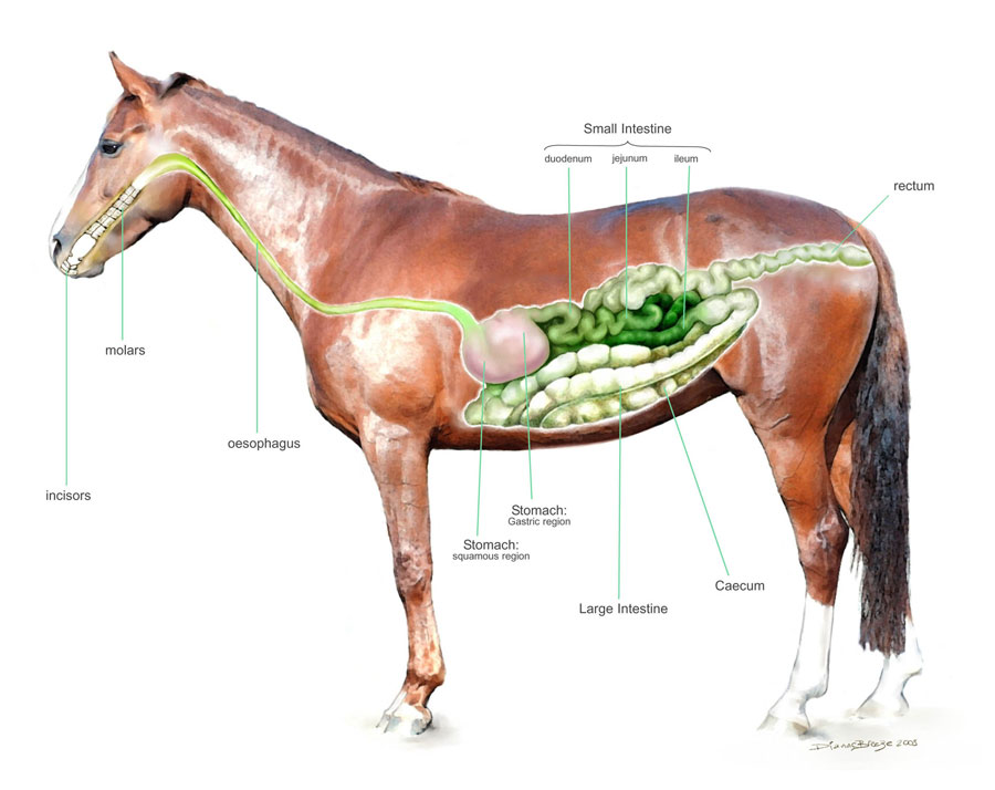 horse skeleton diagram labeled phase blank template diets | the equine nutrition nerd