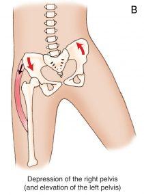 Comment Soigner Une Inflammation Du Psoas : comment, soigner, inflammation, psoas, Psoas, Iliaques, Anatomie,, Traitement,, Muscle, Chouchouter