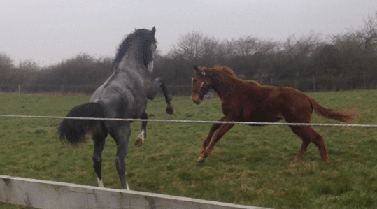 Two young horses playing at Lordships Stud. Photo owned by Lordships Stud.