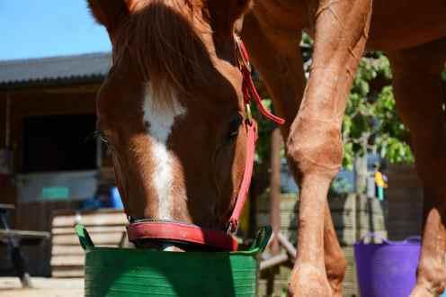 scottie eating ~ do horses eat meat?