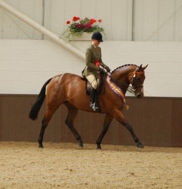 ridden showing horse