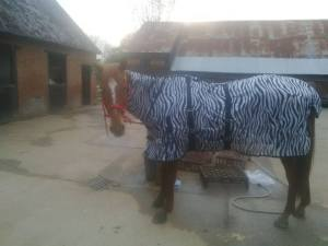 Scottie in zebra rug