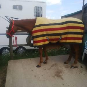 Scottie in Newmarket rug