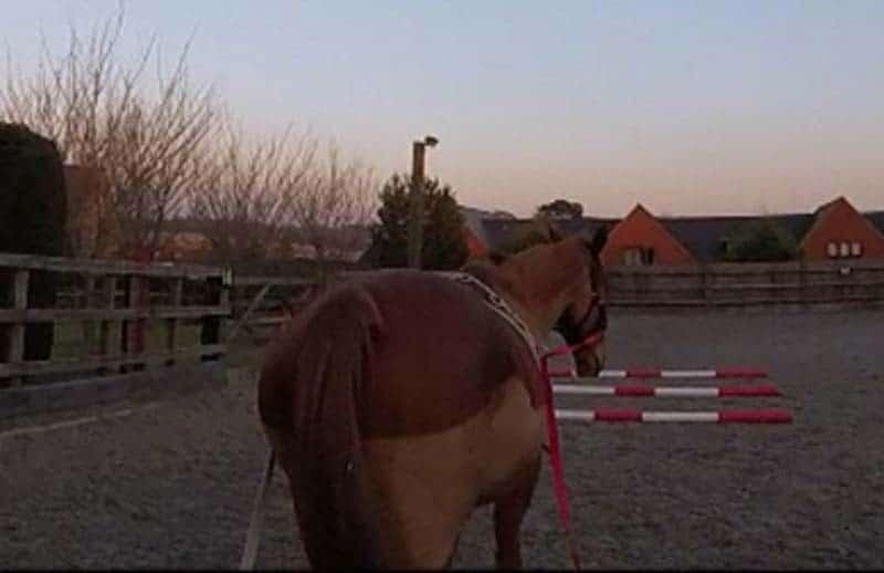 long reining scottie