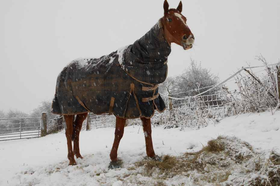 Scottie in the snow, rugged up and ready for christmas
