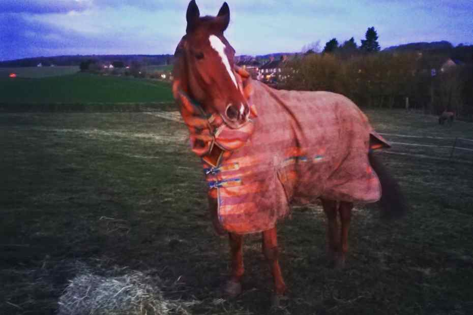 feeding the thoroughbred, scottie eating hay in the field