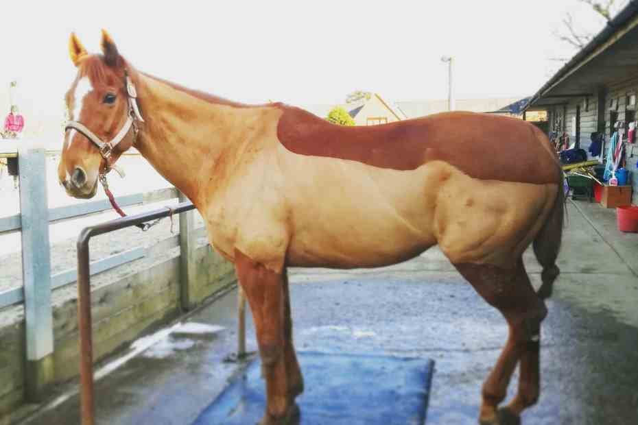 Scottie all clipped, lameness in horses