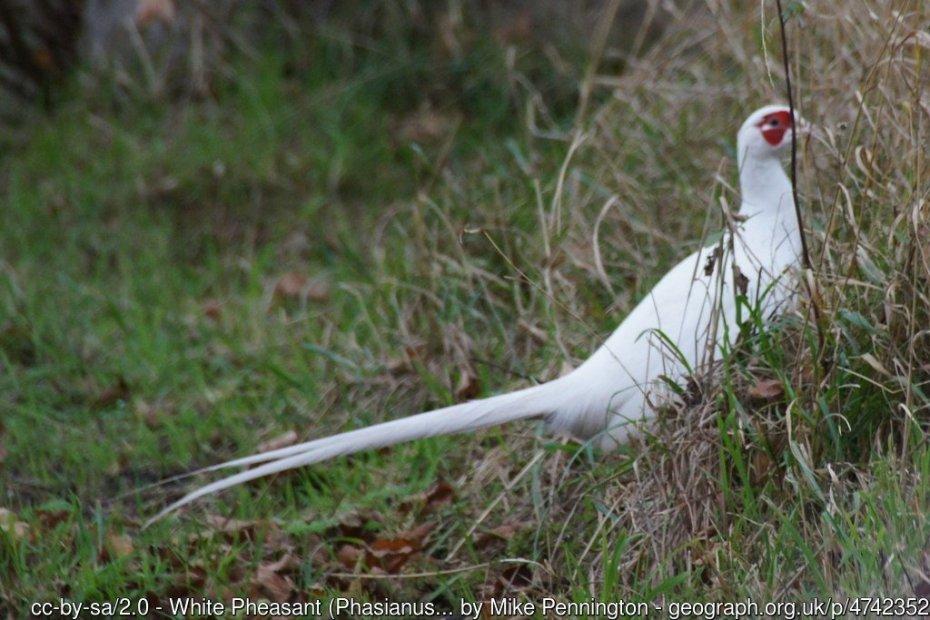 A white pheasant, credit Mike Pennington