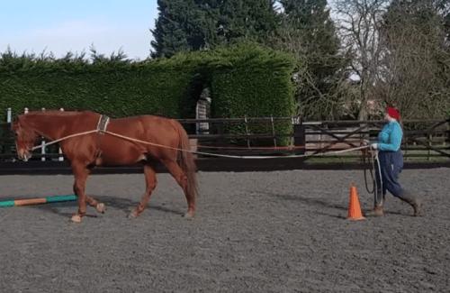long reining Scottie, light work might be best for older horses