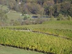 Linden wine vines