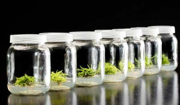 Clone wars: how tissue culture became the cannabis