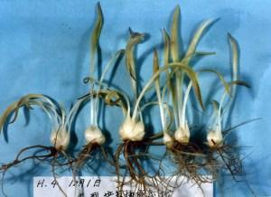 培養槽栽培で生産した球根