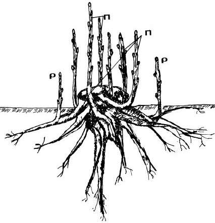Εικόνα 5: Σχηματική αναπαράσταση ριζοβλαστημάτων ρ και παραβλαστημάτων Π
