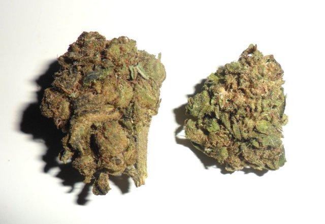 Infriorescenza femminile di canapa legale Amnesia di Sunny weed