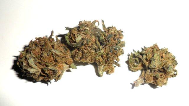 Infiorescenza femminile di cannabis light Barbara Bud di Amor Green