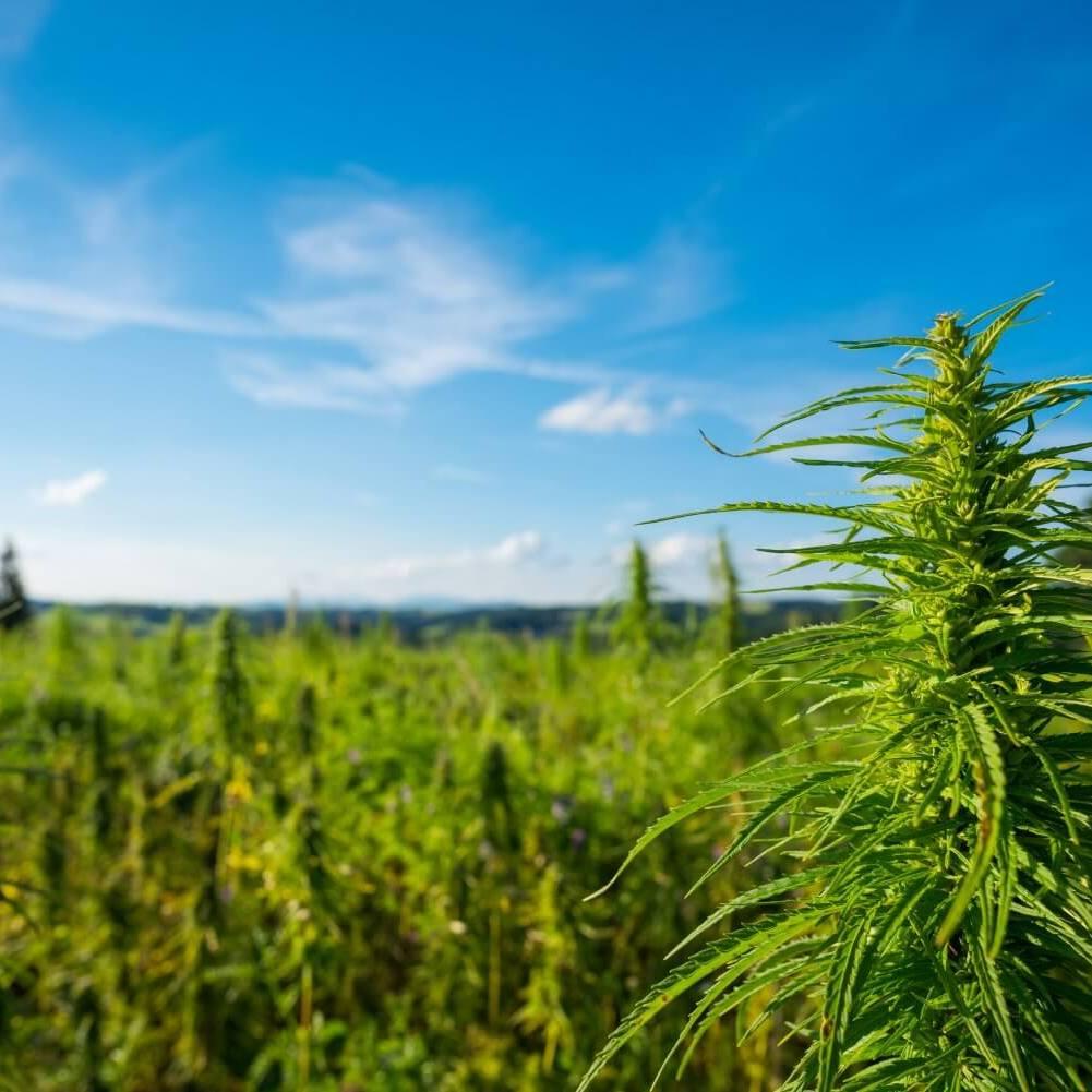 outdoor_erba_di_calabria_metodo_coltivazione