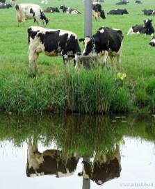 Koeien met reflectie