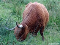 Schotse Hooglanders 03