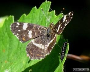 Vlinder Kollumerwaard
