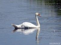 Zwanen Vogelkijkhut de Baak (06)