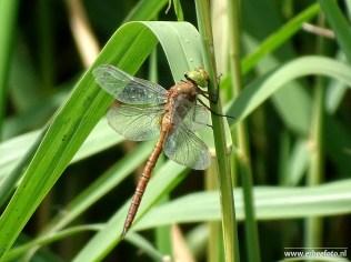 libelle (pasop)