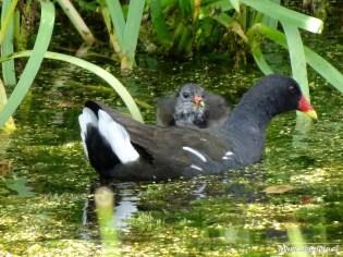 waterhoentje (Oldekerk)