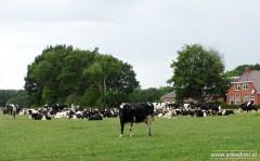 Boerderij met Koeien - Munnekeweg