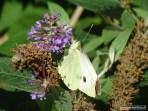 Vlinders 09