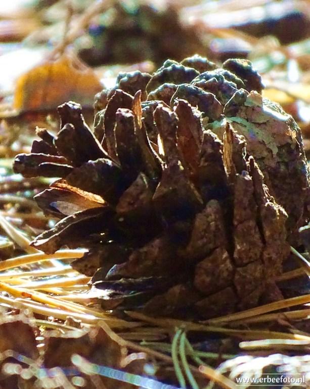 Landgoed Mensinge - Herfst (14) Dennenappel