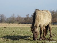 201902_koniks wilde paarden lauwersmeer 01